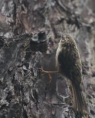 Brown Creeper (Tom Clifton) Tags: pointlobos birding northshore creeper browncreeper brce