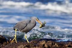 Catch /3 (Geoff Main) Tags: australia bird canon7dmarkii canonef300mmf28lisiiusm canonefextender20xiii easternreefegret nsw nswsouthcoast rockshelf sea easternreefheron nswsouthcoastaustraliabirdcanon7dmarkiicanonef300mmf28lisiiusmcanonefextender20xiiieasternreefegretmoruyaheadsnswnswsouthcoastpedropointrockshelfsea
