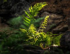Morning Sun Shining through Fern (David Warlick) Tags: photoshop photomatixpro fern hdr morning nikon sunglare telephoto