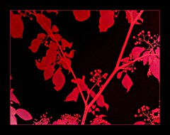 Seeing red! (Marcia Portess-Thanks for a million+ views.) Tags: trees red art leaves photomanipulation rouge effects rojo berries map contemporaryart branches digitalart marcia computerart blackred redblack seeingred a elarte portess elartedigital marciaportess