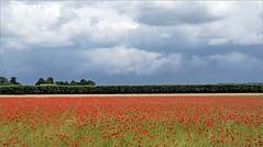 Summer in the Hoekschewaard (daaynos) Tags: summer poppies field poppyfield clouds sky landscape netherlands hoeksewaard dehoekschewaard dehoeksewaard
