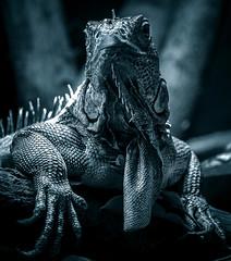 Hail the lizard king (10000 wishes) Tags: lizard iguana wildlifephotography wildlfe filter portrait pose tropical animalphotography animal naturephotography nature