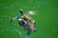 Green Sea Turtle (Chelonia mydas) (fisherbray) Tags: usa beach gulfofmexico water pier nikon wasser unitedstates florida honu seaturtle cheloniamydas greenturtle greenseaturtle navarrebeach santarosacounty emeraldcoast d5000 fisherbray