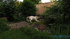 Jag tanker bada! Jag angrade mig... (J Tube-Films) Tags: scooby st gullig valp valpar hund hundvalp golden retriever busar leker