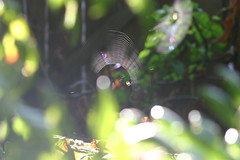 2016 08 13 Spiders in the Backyard (Blake Handley) Tags: blake blamar spiders webs web backyard victoria bc canada