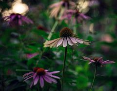 coneflowers at dusk (amy buxton) Tags: amybuxton botanical coneflowerechinacea garden midwest natural nature plants stlouis summer