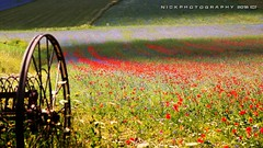 Indimenticabile (_Nick Photography_) Tags: img6681 nickphotography unforgettable summerflowering blooming poppies piangrande castellucciodinorcia nationalpark