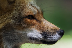 A foxy profile (FocusPocus Photography) Tags: fuchs rotfuchs red fox vulpesvulpes tier animal wildtier wildlife profil profile wildparadies tripsdrill