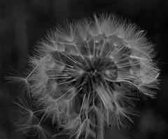 Dandelion (PicturesThatIDoneTook) Tags: canon ae1p fd film analog ilford delta ilforddelta bw