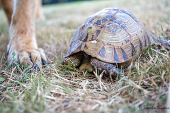 Mme pas peur... !! (La photo & moi....) Tags: faune animal tortue carapace patte chien rigolo amusante lent