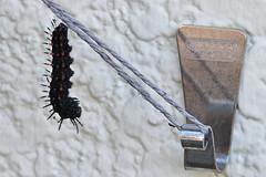 tsumagurohyoumonprepupa_16719 (takao-bw) Tags:  indianfritillary  prepupa  brushfootedbutterfly nymphalidae butterfly lepidoptera insect japan