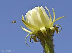 Attacke !!! * Attack !!! * Ataque !!! * Echinopsis spachiana *    ._DSC4444-001 (maya.walti HK) Tags: 2016 280716 blten blossoms cactus copyrightbymayawaltihk echinopsisspachiana espaa flickr flores makro nikond3200 pflanzen plantas plants spain spanien
