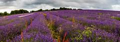 Lavender near Overton, Hampshire.