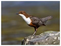 IMG_2021-Dipper (duncancooke.happydayz) Tags: dipper river birds birdperfect distinguishedbirds bird british wildlife uk naturesgreenpeace natue native cumbrian water