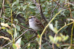 White-throated Sparrow  6424 (robenglish64) Tags: whitethroatedsparrow