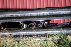 Number Sixteen (Phil Roeder) Tags: canon6d canonef70200mmf4lusm cow cattle farm rural agriculture