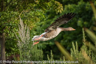 Grey Lag Goose in Flight with trees