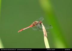 Blutrote Heidelibelle (Deso1904) Tags: groslibellen segellibelle blutroteheidelibelle berlin