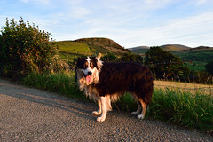 Nothing Finer. (Mike & Indy) Tags: laddie dog dogs bordercollie llanfairfechan birthday explore