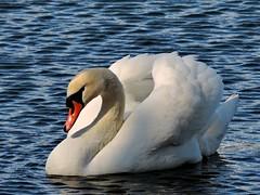 Swan (PhotoLoonie) Tags: muteswan feathers ukwildlife britishwildlife