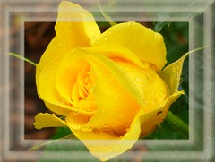 ~~ Yellow Rose with rain drops ~~ (Rosa Dik 009 -- catching up !) Tags: yellowrose drops insect color composition light makro photographystudy flickr loweraustria quintaflower